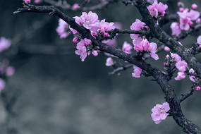 美丽的粉色碧桃花