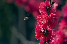 蜜蜂与红碧桃