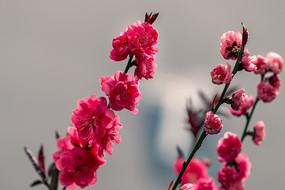 三枝红碧桃