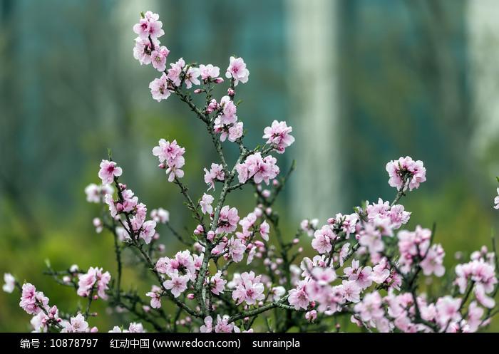 盛开的粉红色碧桃图片