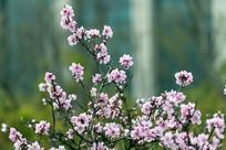 盛开的粉红色碧桃