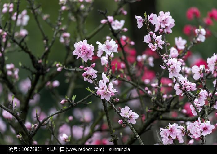 盛开的粉色碧桃图片