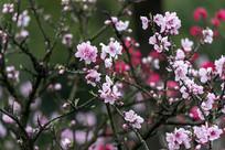 盛开的粉色碧桃