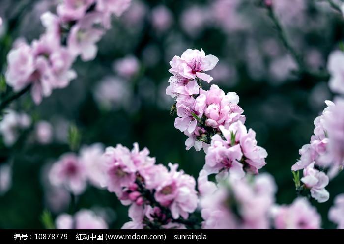 盛开的粉色桃花图片