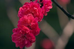盛开的红色碧桃花