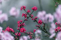 水墨红花绿叶碧桃