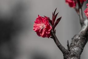 特写红叶红花碧桃