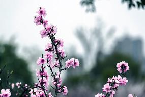 透空的粉色碧桃枝
