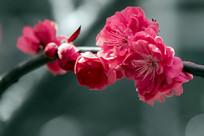 微距红花红叶碧桃