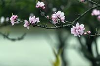 一枝粉红绿叶碧桃