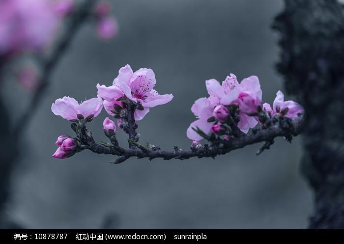 一枝粉色碧桃图片