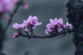 一枝粉色碧桃