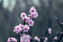 一枝粉色桃花开