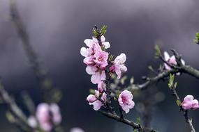 一枝粉色桃花特写