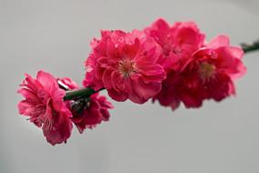 一枝红叶碧桃
