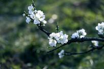 一枝绿叶白碧桃