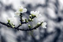 一枝绿叶碧桃