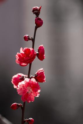 一枝向上的红碧桃