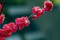 一枝向上的红花红叶碧桃