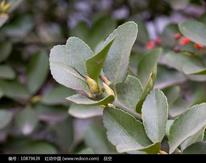 园艺植物冬青卫矛绿色枝叶图片