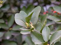 园艺植物冬青卫矛绿色枝叶