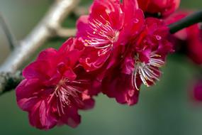 绽放的红碧桃