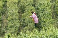 采茶的茶农