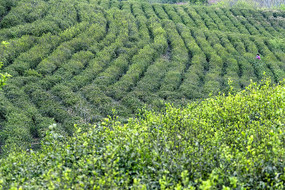 春意盎然的绿色茶园