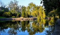 公园河边的柳树