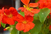 旱金莲花朵