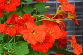 红色旱金莲花