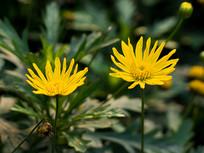 黄金菊花朵特写