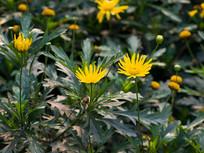 黄金菊花期