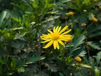 黄金菊金黄色的花朵