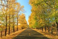 金秋公路黄叶灿烂