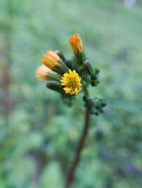 菊科植物黄鹌菜
