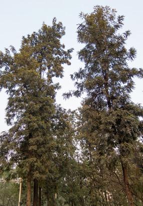 绿色的银桦树