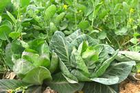 农村菜地种植的白菜