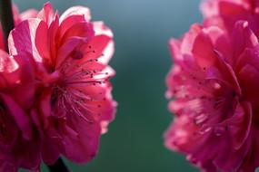 特写两朵红碧桃花