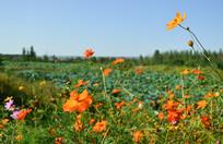 田野里的小黄花