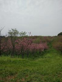 田园间绽放的樱花