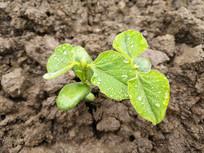 土壤雨露幼苗