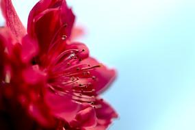 微距一朵红碧桃花