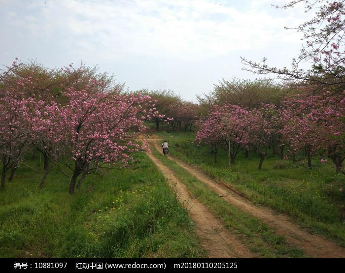 乡村的樱花图片