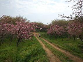 乡村的樱花