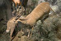 野生动物标本-薮羚
