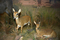 野生动物标本-倭羚