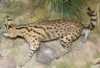 野生动物标本-薮猫