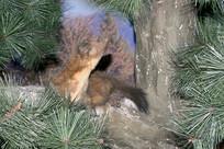 野生动物标本-松貂