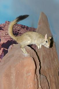 野生动物标本-跳兔